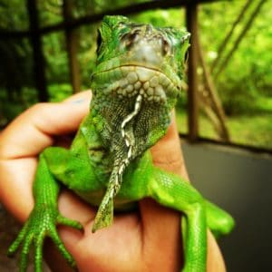 A baby Green Iguana