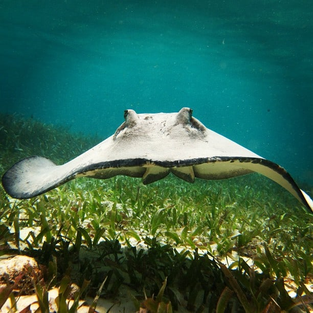Stingray Belize snorkeling
