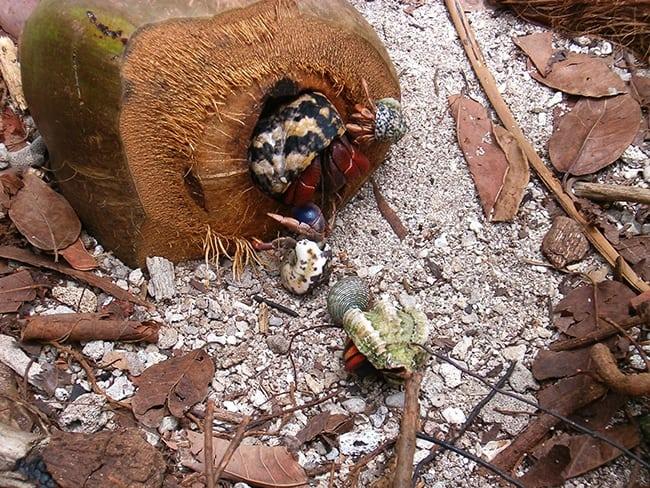 Hermit crab Belize