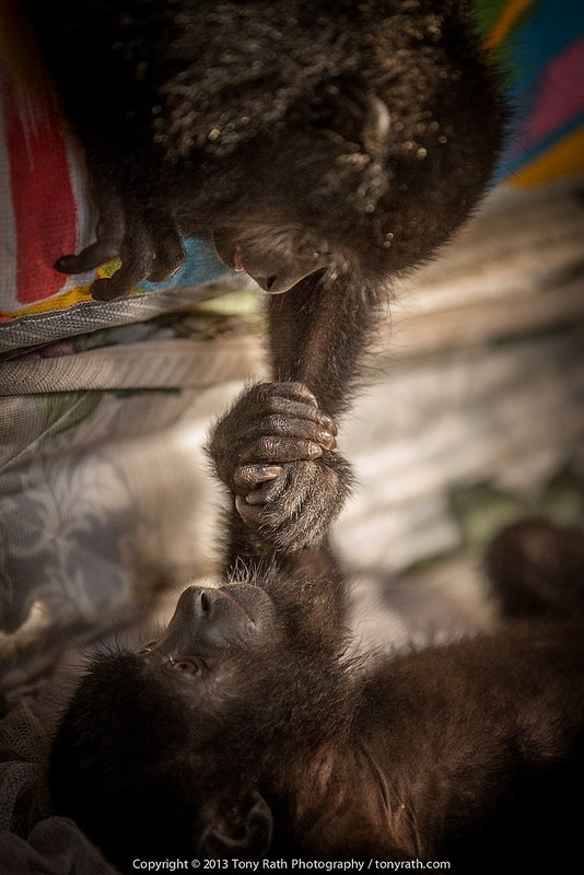 Young howler monkey, Wildtracks Belize