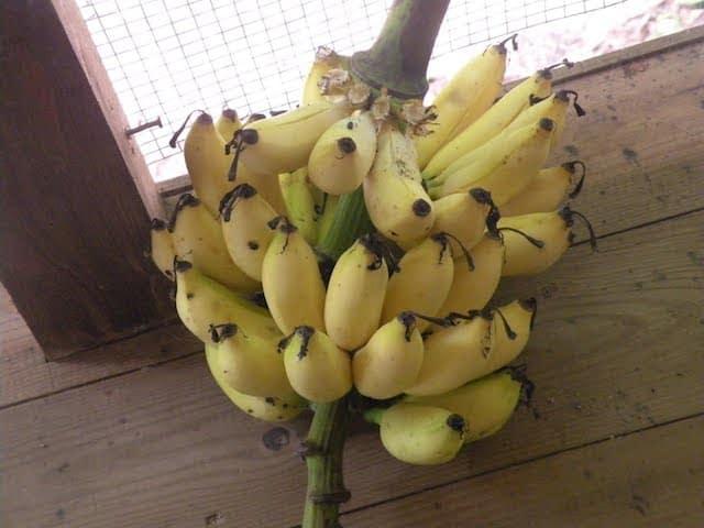 apple bananas belize