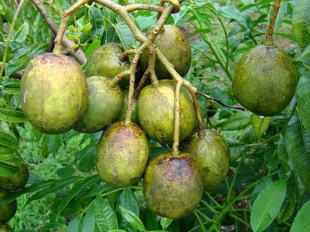 golden plum belize