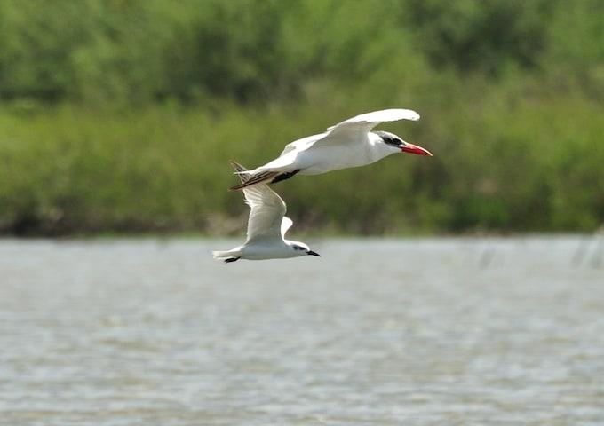 Caspian Tern and Gull-billed Tern