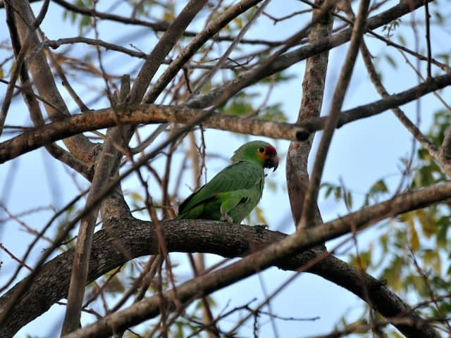 Red-lored-parrot-belize